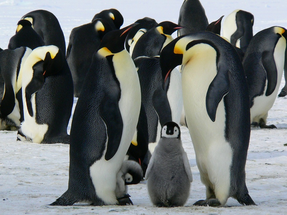 essay on penguins penguin chicks take a break on the ice daily mail online purple images travel nature landscape